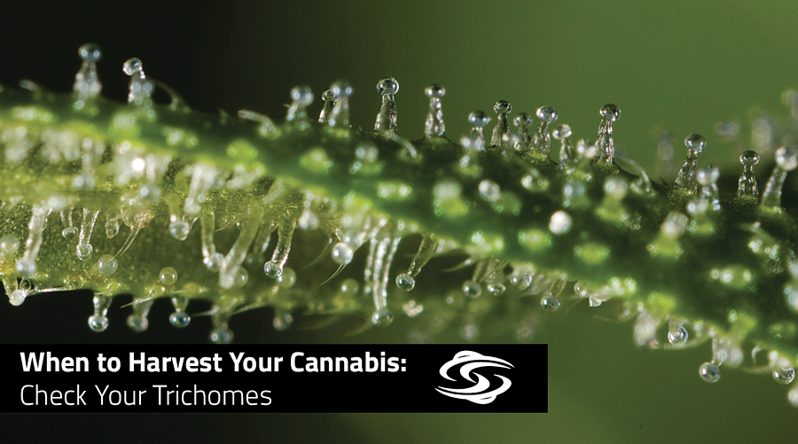 when-to-harvest-check-your-trichomes-twister-trimmer-blog
