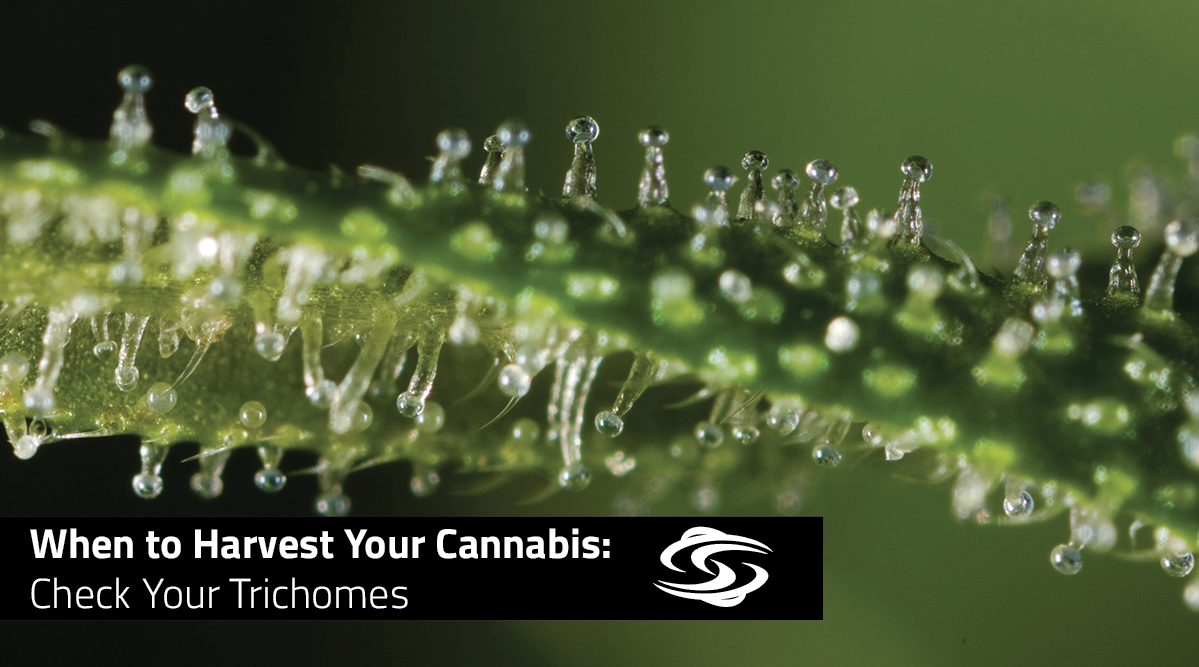When to Harvest Your Cannabis: Check Your Trichomes